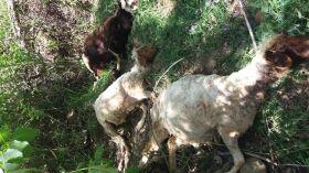 حمله پلنگ به گله گوسفندان در سلسله