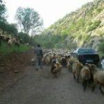خروج دام های غیرمجاز از مراتع منطقه حفاظت شده اشترانکوه