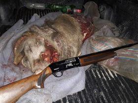 یک سال حبس و پرداخت ده میلیون ریال جریمه برای شکارچی گراز در لرستان
