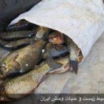 کشف و ضبط ۶۰ قطعه ماهی از متخلفین زیست محیطی در رومشکان