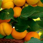 مروک؛  بزرگترین مجتمع تولید زردآلو در کشور