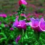 برداشت گیاهان دارویی از مراتع شهرستان پلدختر
