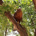 عقاب طلایی به آشیانه اش بازگشت/ تیمار و بهبودی یک بهله عقاب طلایی و سارگپه معمولی