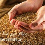 مطالبات کشاورزان استان بابت تحویل گندم تسویه شد