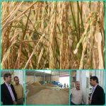 فعالیت ۳۰ واحد شالیکوبی بخش خصوصی در لرستان/ سفید کردن، فرآوری و بسته بندی برنج