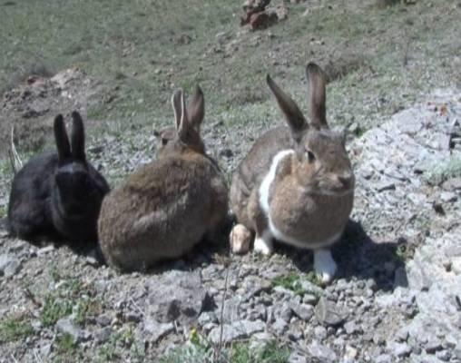 دستگیری شکارچیان خرگوش در سلسله