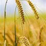 آغاز برداشت محصول جو از مزارع شهرستان خرم آباد