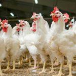 سالانه ۸۰ هزار تن مرغ در لرستان تولید میشود / ۳ درصد تولید گوشت مرغ در کشور