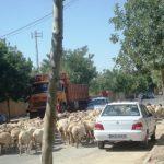 تردد گلههای گوسفند در محیط شهر!