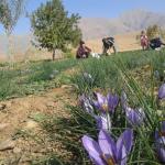 ابتکار جوان لرستانی در اشتغال ۵۰۰ مددجو با کشت زعفران